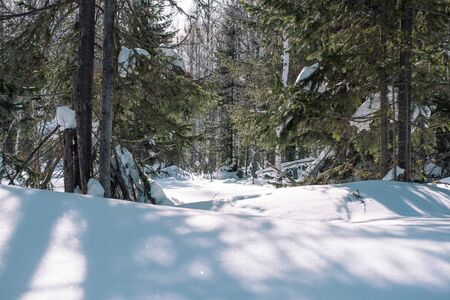 Taiga in the winter. Forest in winter. Closeup of winter forest. Conifers under the snow. Stockfoto