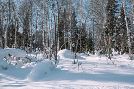 Snow lies on the branches of a tree. Scenic winter forest. The sun in the winter forest. Winter branches closeup. Winter in Siberia