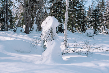 Snow lies on the branches of a tree. Winter landscape. Winter forest. Snow on the branches close-up. Winter in Siberia Stok Fotoğraf