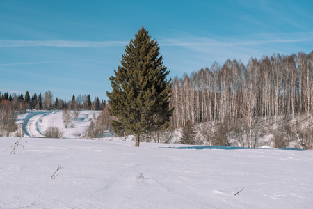 Winter forest landscape. Taiga in the winter. Siberian forest in winter. Snow covered trees. Christmas trees under the snow. Birch under the snow. Stok Fotoğraf