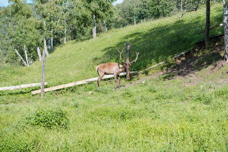 wild deer in the paddock. morality. deer take a seat in the paddock. domestic deer