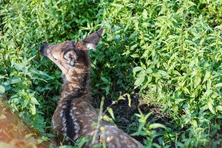 young wild deer. little morality. deer cub. deer resting domestic deer Stock Photo
