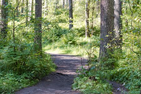 path in the forest. walk through the bright forest. fern in the forest. the sun shines through the trees. trees and fern. active lifestyle. empty expensive. nobody in the forest