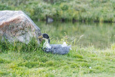 wild ducks. duck sits on the shore. game birds. hand duck. domestic duck. Zdjęcie Seryjne