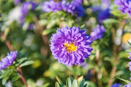 blue asters. flowers close-up. grow asters in the garden. admire the flowers. bright asters. beautiful flowers