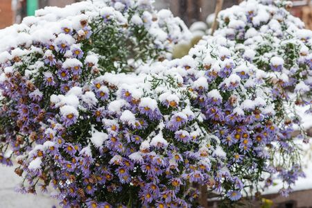 Flowers under the snow. Snow fell on the flowers. Winter has come. There is snow in the garden. Winter time.