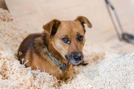 the dog lies on wood shavings. sabak resting on sawdust. ginger dog. sawdust pet