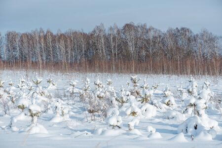 Little spruce trees under the snow. Snow fell on the Christmas tree. Frosty morning. Winter has come. A lot of snow. Stok Fotoğraf