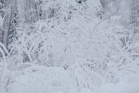 Snow fairy forest. Winter forest. Taiga snow forest. Pine trees in the snow. Archivio Fotografico - 136186716
