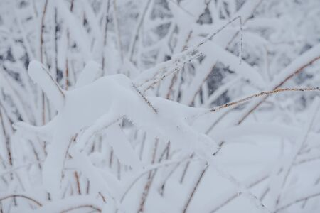 Snow fairy forest. Winter forest. Taiga snow forest. Pine trees in the snow. Archivio Fotografico - 136186737