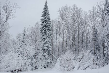 Snow fairy forest. Winter forest. Taiga snow forest. Pine trees in the snow. Archivio Fotografico - 136186768