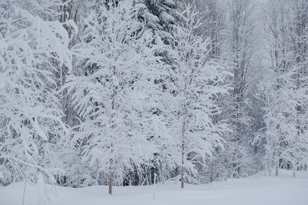 Snow fairy forest. Winter forest. Taiga snow forest. Pine trees in the snow. Archivio Fotografico - 136186769