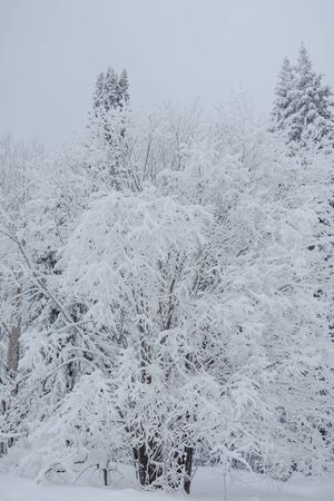 Snow fairy forest. Winter forest. Taiga snow forest. Pine trees in the snow. Archivio Fotografico - 136186783