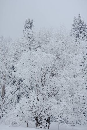Snow fairy forest. Winter forest. Taiga snow forest. Pine trees in the snow. Archivio Fotografico - 136186796
