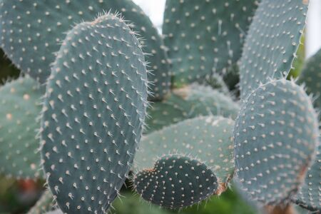 Cactus close-up. Needles on a cactus. Grows in the desert. Flat cactus. Exotic plant. Sharp needles.