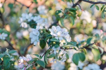 Apple tree flowers close-up. Apple blossom. Background. Natural fruits. Grow apples in your garden