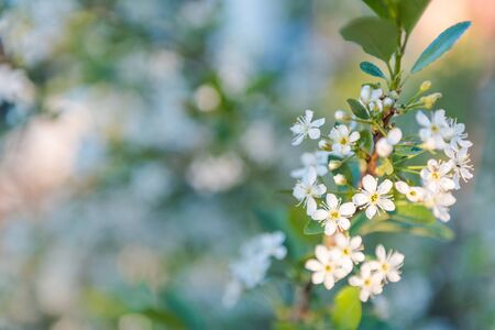 Apple tree blossoms with white flowers. Background. Flowers bloomed. The garden bloomed. Spring has come. Reklamní fotografie