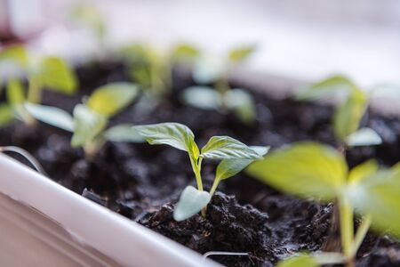 Seedlings on the window. Seedlings in the ground. Plant sprouts. Green seedlings. Potted seedlings