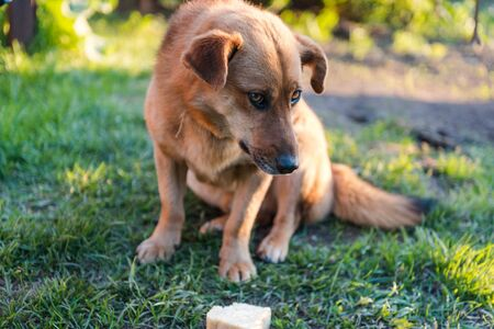 The dog is eating bread. Ginger dog pet. The dog eats on the street. Dog friend man