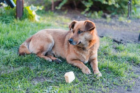 Ginger dog on the grass. The dog is eating. Pet. Cur. Dog is bread. The dog is lying on the grass. Friend of human