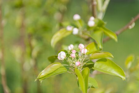 Apple tree blooms. White flowers on a tree. Spring nature. It blooms beautifully. Colorful background. Reklamní fotografie