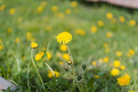 Dandelions are growing. Beautiful yellow flowers. Dandelions grow in the meadow. A lot of dandelions. Healing flowers Reklamní fotografie