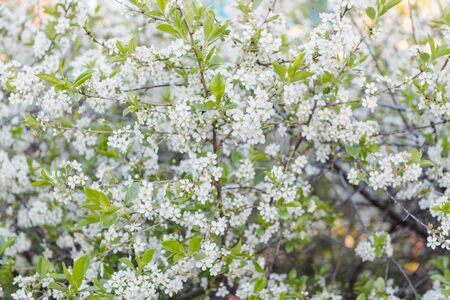 Blossoms fruit tree. Large plpn. Background photo. A lot of white flowers. Apple flowers Natural fruits. Agriculture. Grow vegetables and fruits.