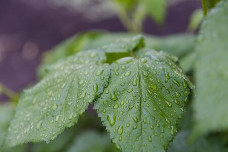Dew on the leaves. Leaves after the rain. It has rained. Drops on the leaves. Early morning. Beautiful nature. Drops on the leaves close-up. Reklamní fotografie