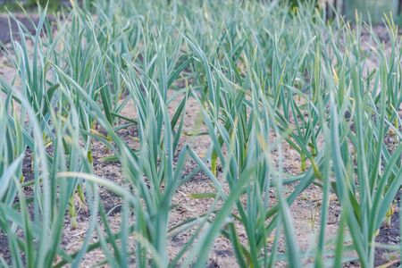 Garlic grows in the garden. Leaves of garlic. Homemade spice. Organic products. Grow garlic in the ground. Gardening. Land plot. Garlic sprouts