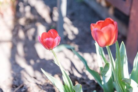 Tulips grow at home. Flowers in the garden. Red tulips. Pink flowers. Blossom. Gardening. To grow flowers. Favorite tulips. Flowers for the holiday.