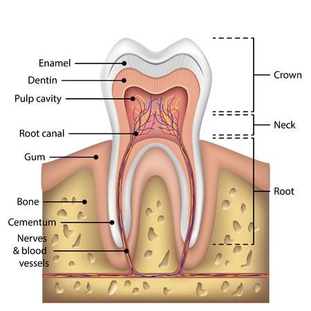 Infographie de l'anatomie dentaire. Maquette de dent blanche réaliste. Concept de santé des soins bucco-dentaires. Bannière médicale ou une affiche Vector illustration EPS 10