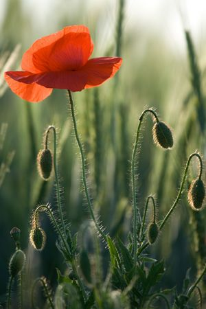 One red poppy and poppy-heads into the young cereals photo