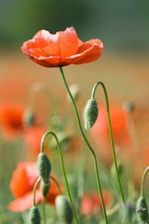 Red poppy and poppyheads on the poppy flowering meadow background