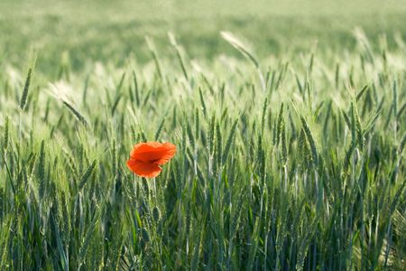 villus: One red poppy is growing in a cereal field