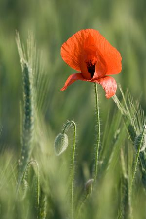 Ear of cereals, poppyheads and one red poppy close-up on the cereal field background photo
