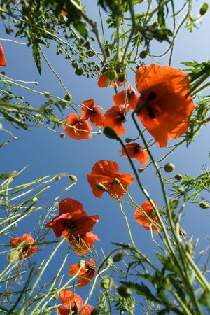 Red poppies and poppyheads  from the ground level on the blue sky background  Stock Photo