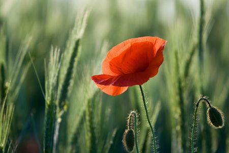 Single red poppy close-up on the cereal field background horizontal photo