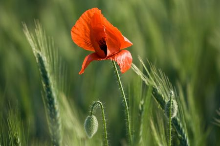 Flowering red poppy close-up among cereals Stock Photo - 5756264