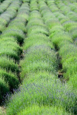 Flowering lavender field in spring photo