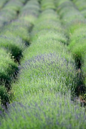 Flowering lavender rows on the plantation Stock Photo