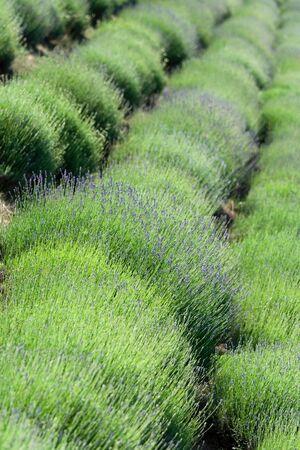 Diagonal rows of flowering lavender plantation photo