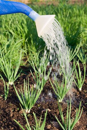 Spring onion is watered from can on the vegetable patch  Stock Photo