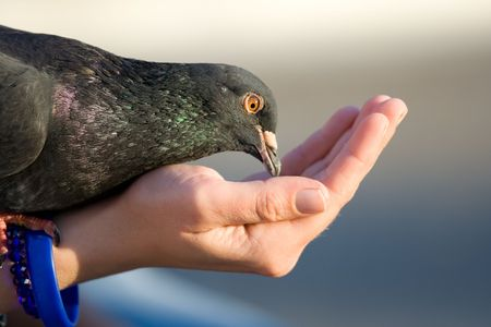 Woman cares of pigeon that is feeding from palm