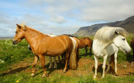 Sunny summer day in the south of Iceland and a beautiful Icelandic horse in the pasture