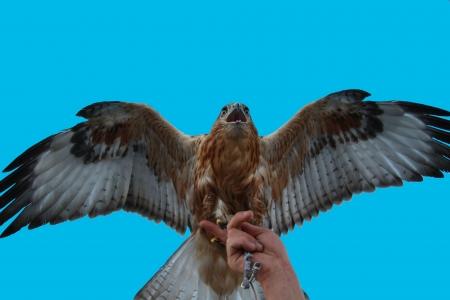 Eagle family of Falcon Peregrine Falcon sitting on the arm