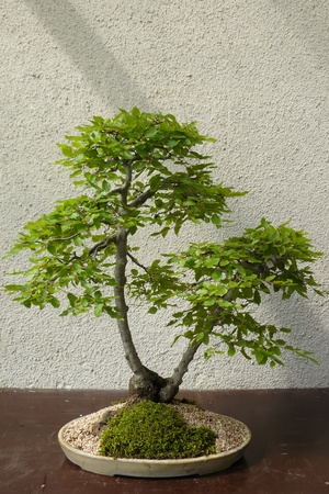 A mature tree in miniature grown man in the style of bonsai Stock Photo