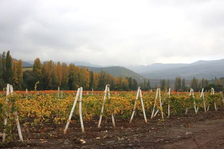 Crimean vineyards sovhohov lifted in late autumn after the harvest