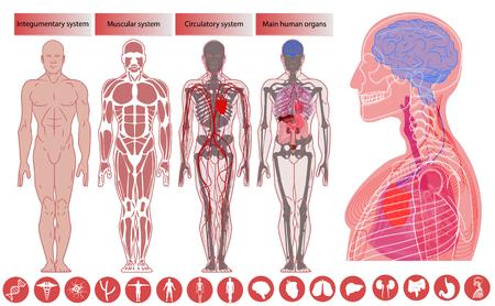 Anatomie des menschlichen Körpers, medizinische Ausbildung. Anatomie und Physiologie des Nerven- und Skelettsystems flache pädagogische Infografiken Vektorillustration. Anatomie des menschlichen Körpers, flacher Stil