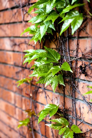 ivy wall: Ivy on the brick wall Stock Photo