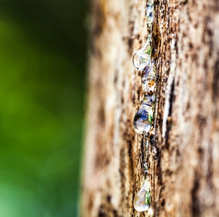 rosin: Drop of Resin on Tree Bark
